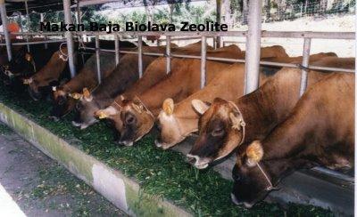 ternak sapi madura