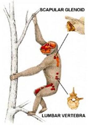 reconstruccion de Morotopithecus