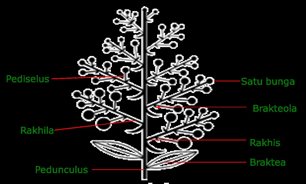 Morfologi Tumbuhan Bunga Majemuk Anthotaxsis Inflorescentia