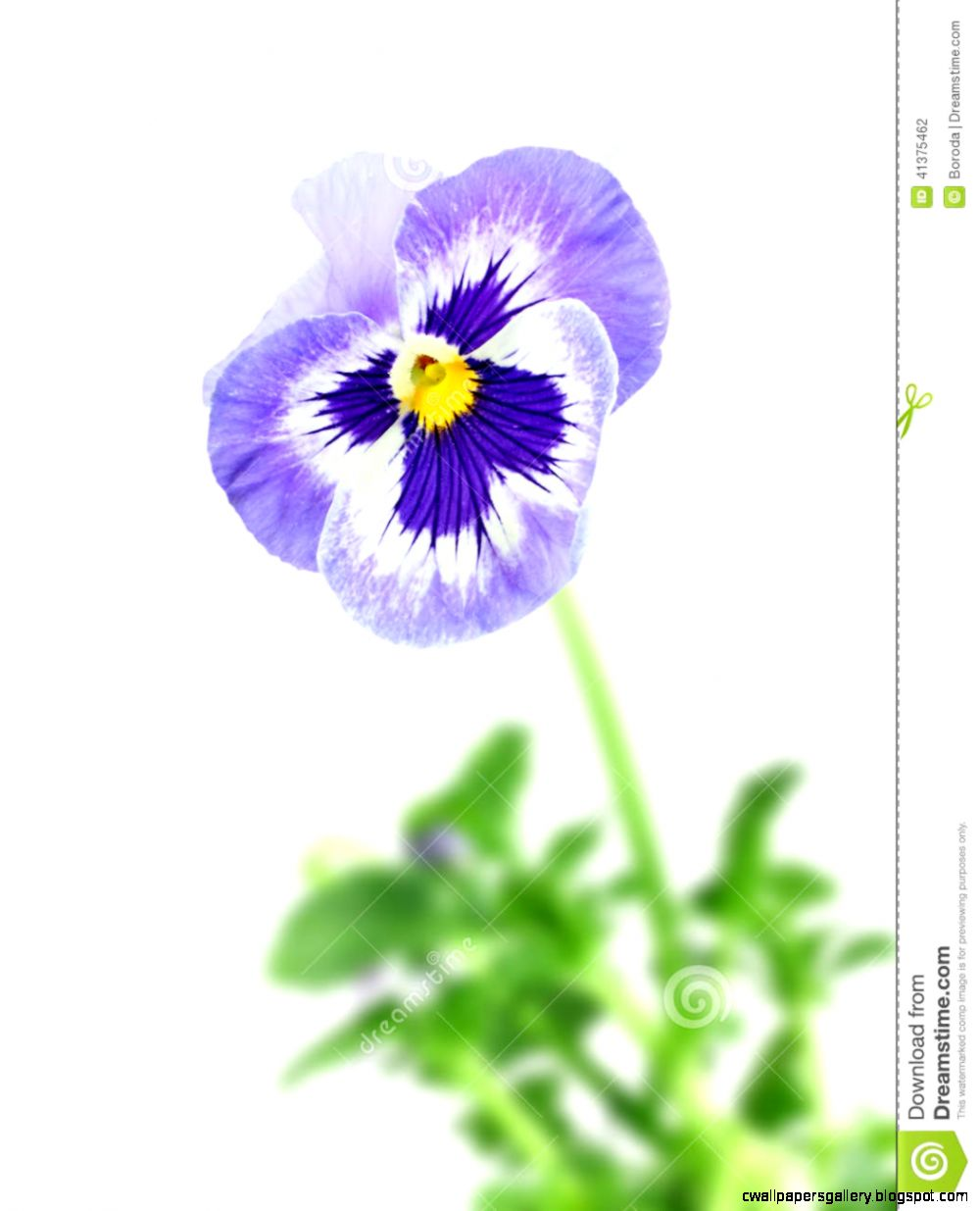 Blue Pansy Flower Stock Photo   Image 41375462