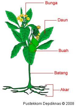 Penggolongan Tumbuhan dan Contohnya
