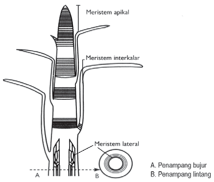 Materi respiras materi jaringan tumbuhan dikotil dan monokotil meristem lateral meristem samping yang terdapat pada batang tepatnya di cambium atau cambium gabus ccuart Choice Image