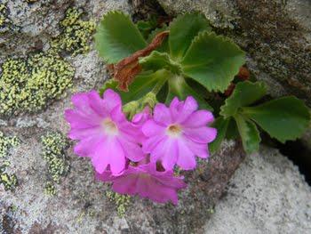 Primula Hirsuta (Primula irsuta)