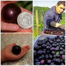 saiz anggur Vivix