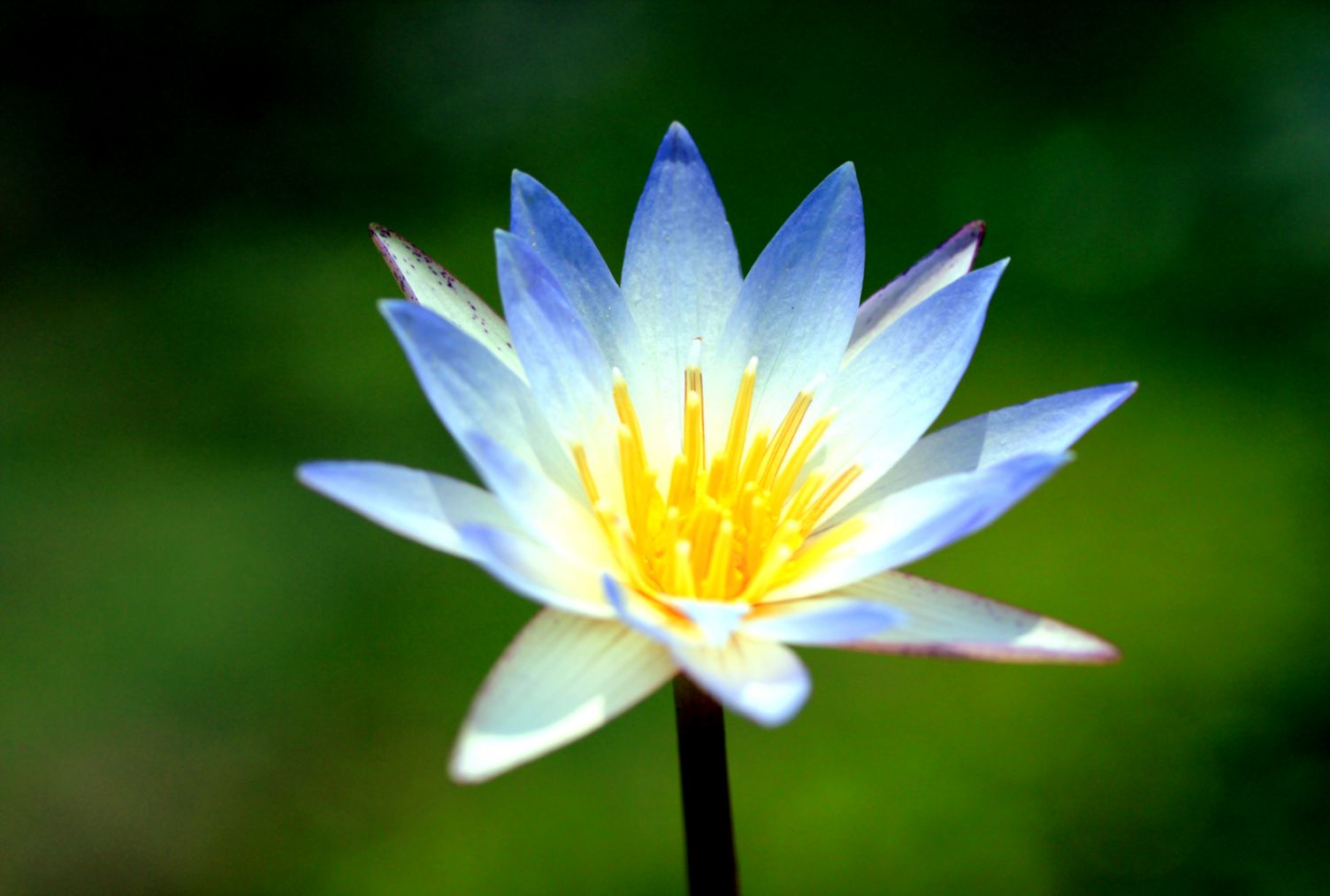Lotus Flower Photos Free Download Best Image Background