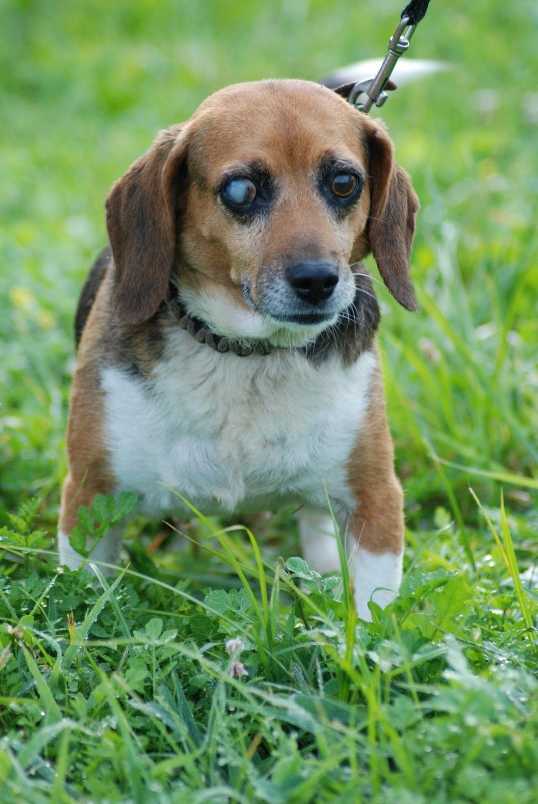 Bodie S Beagles Blog Foster Needed Coming To Nyc Abby