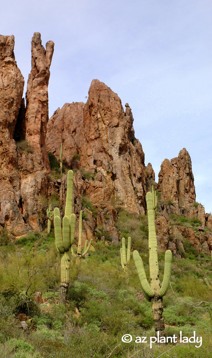 How Long Until A Saguaro Cactus Begins To Grow Arms
