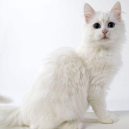 Kumpulan Gambar Kucing Anggora Cantik Dan Lucu Terbaru 2016