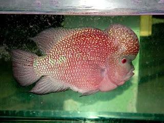 hua luo han flowerhorn fish