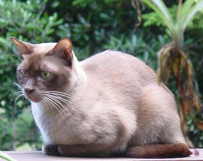 Mengenal Kucing Burma / Kucing Burmese
