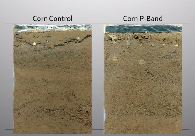 Buried scanner showing comparison of root growth with and without fertilizer.
