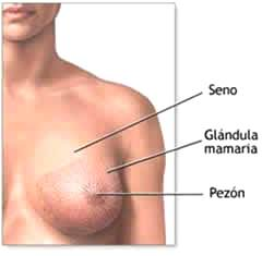 Imagen del seno de la mujer indicando partes externas