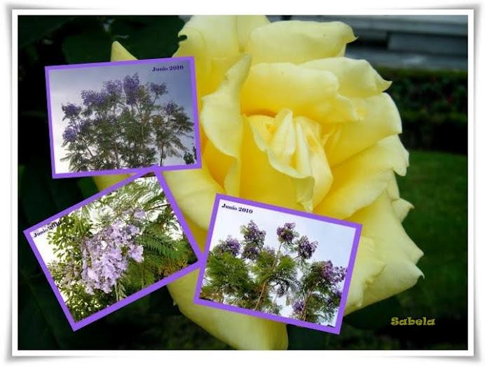Regalo de Conchi. Flores de Jacaranda.