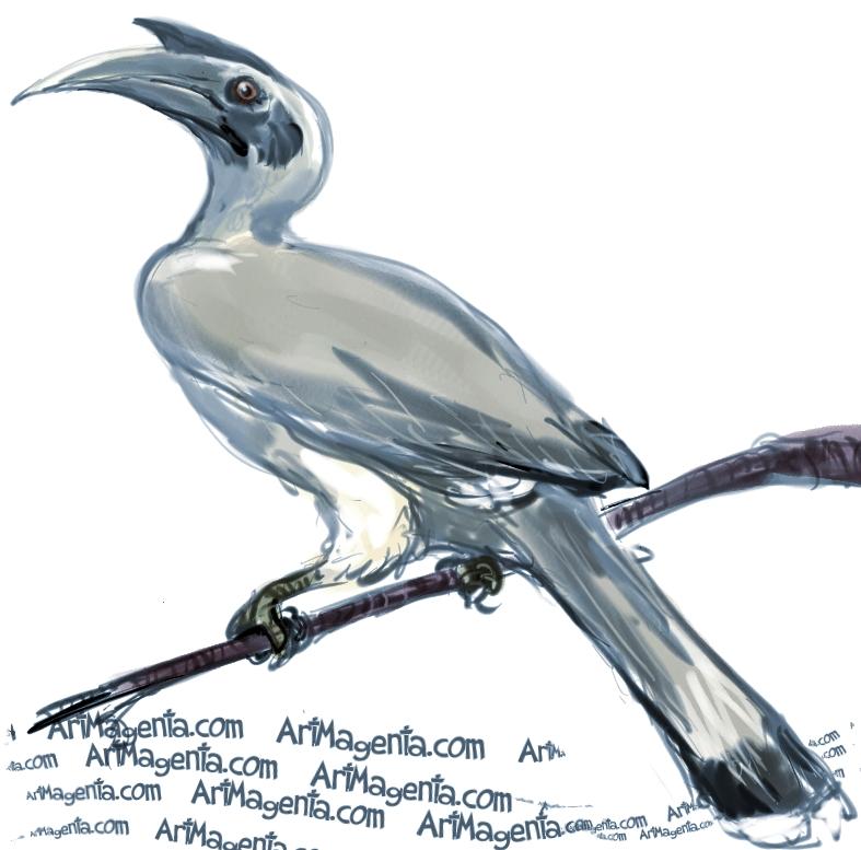 Indian Hornbill Drawing Indian Grey Hornbill