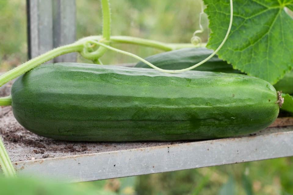Huis tuin en keukenvertier tijd om te oogsten - De komkommers ...