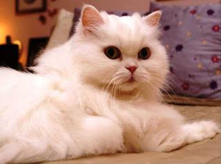 Gambar Kucing Persia Lucu 10004
