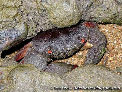 Red-eyed Reef Crab (Eriphia ferox)