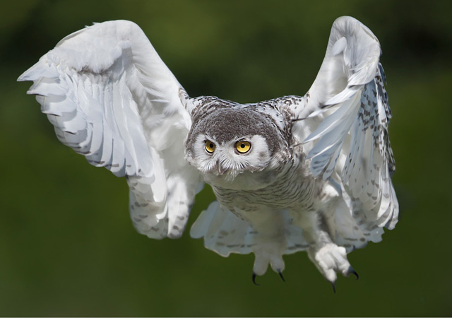 Snowy owl by Stefano Ronchi
