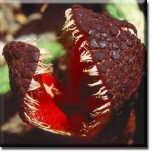 bunga bangkai, bunga unik, bunga, bunga berwarna, Hydnora africana