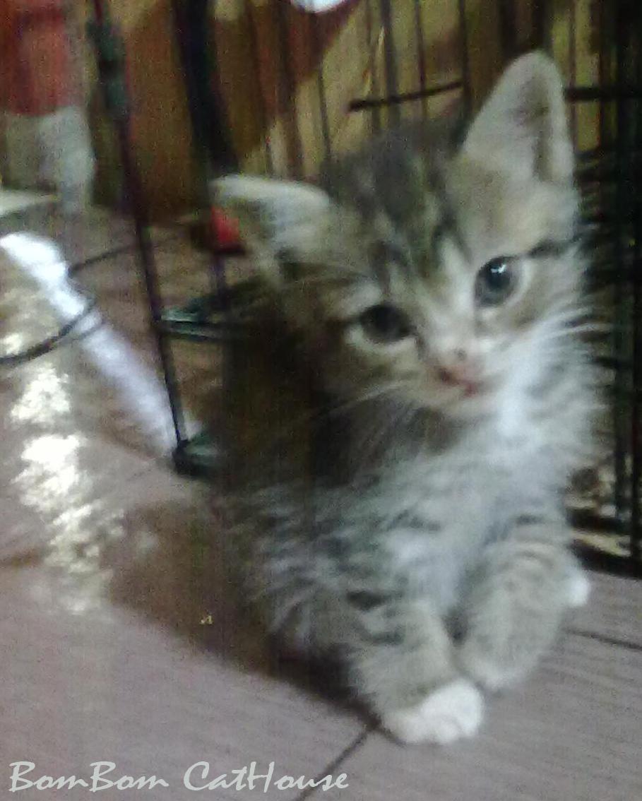 Bombom Cathouse Kucing Mix Breed Quot Persia Vs Lokal Quot 02