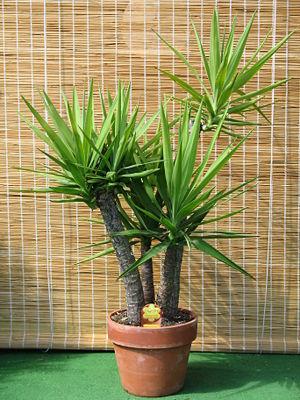 Cheirinho de flor plantas resistentes ao sol - Plantas para exterior resistentes ...