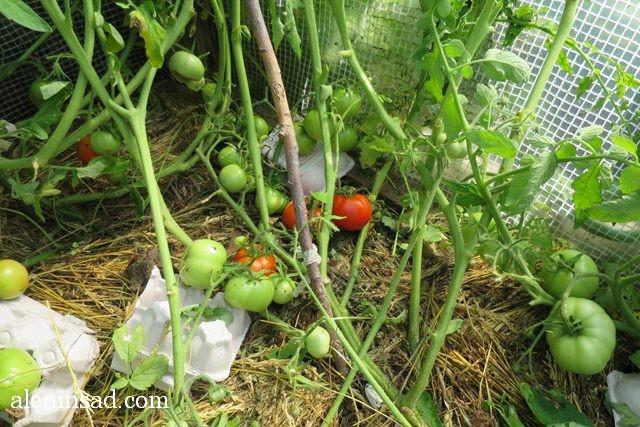 урожай, август, аленин сад, помидоры
