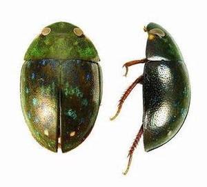 Nama Latin Kumbang