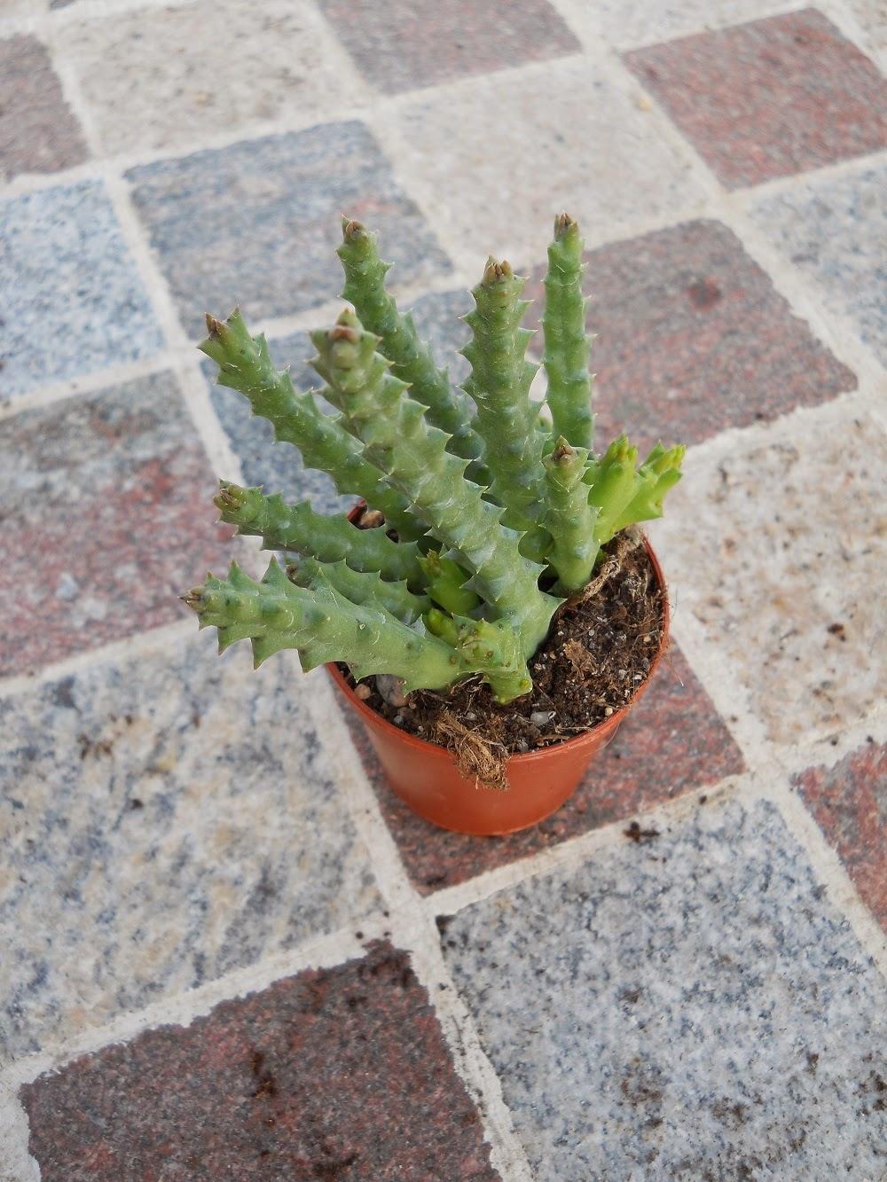 planta suculenta flor de lagarto