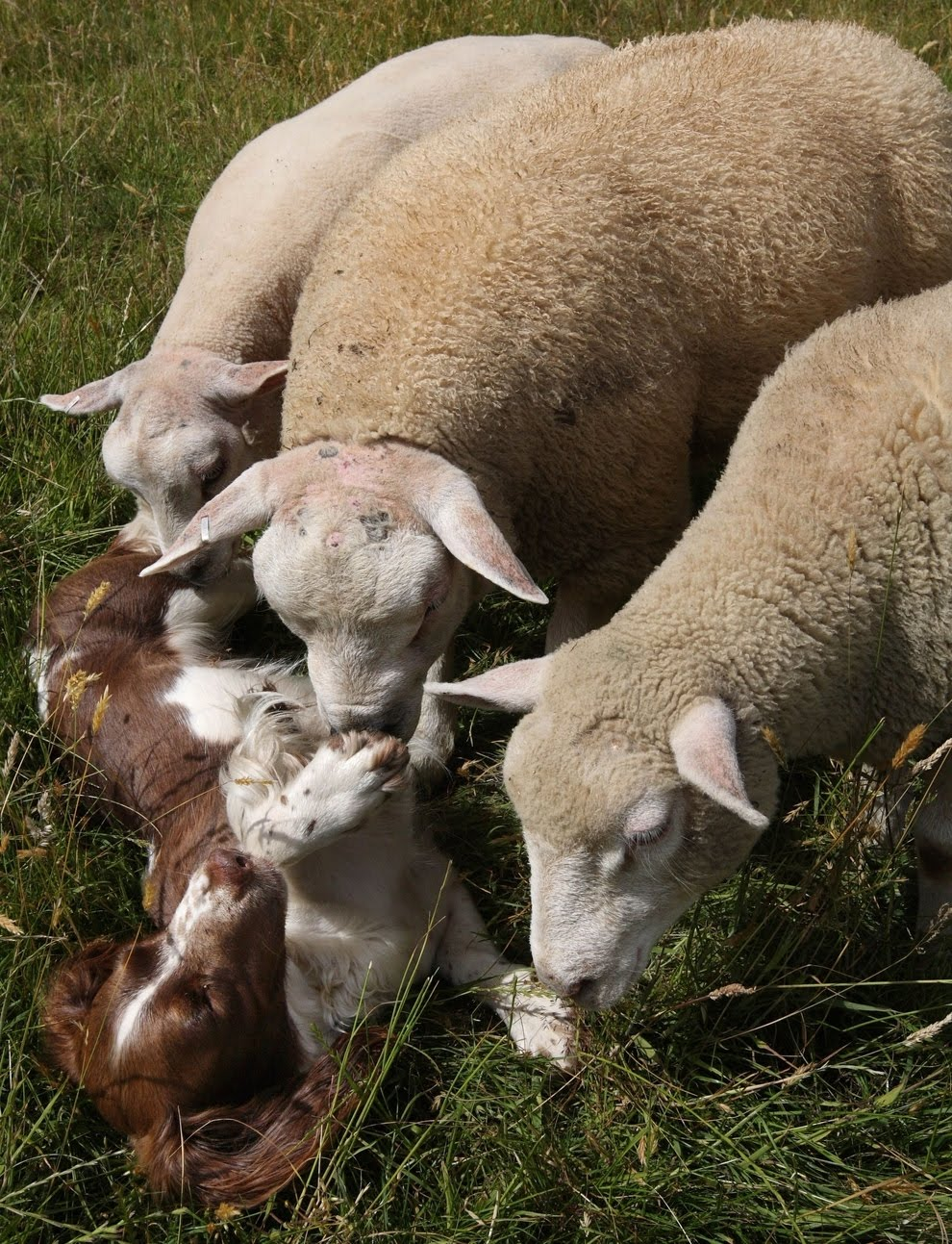A sheepdog bottle-feeding baby lamb, Thank you Jess