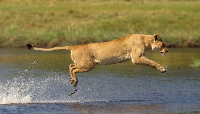 Fotógrafo flagra momento em que leoa ataca crocodilo