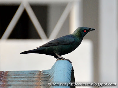 Asian Glossy Starling (Aplonis panayensis)