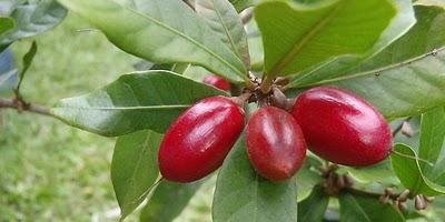 Buah tanaman Synsepalum dulcificum yang tumbuh di Afrika ini boleh ...