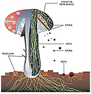 Hifa yang membentuk miselium dan tubuh buah