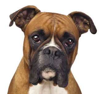 Most Popular Dog Breeds In The World Boxer