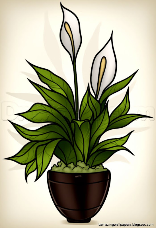 How to Draw a Peace Plant Peace Lily Step by Step Flowers Pop