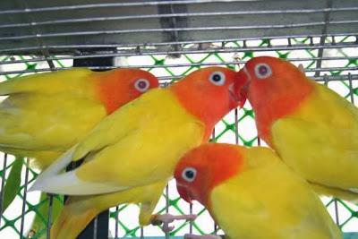 bird street fisher parrots