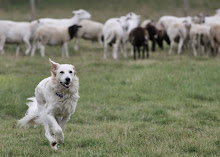 Sam Sheepdog