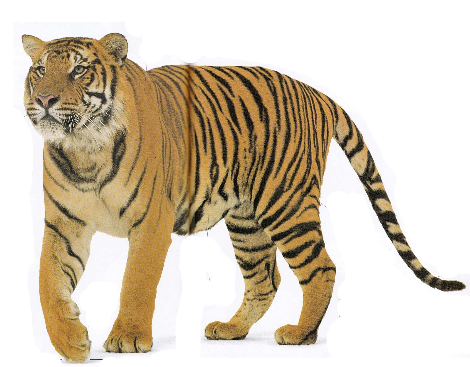 Ledoux fait le mur la chambre d 39 arthur - Dessin de tigre facile ...