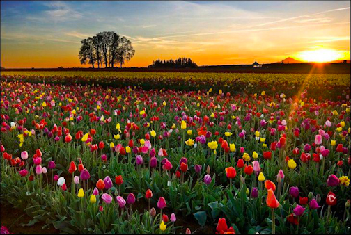 http://3.bp.blogspot.com/-LJrheHTzfKo/Tq8ei04VvWI/AAAAAAAABpA/Xibuwm1yShA/s640/tulip-landscape-spring-dutch-holland-farm-country-sad-hill-news-6.jpg