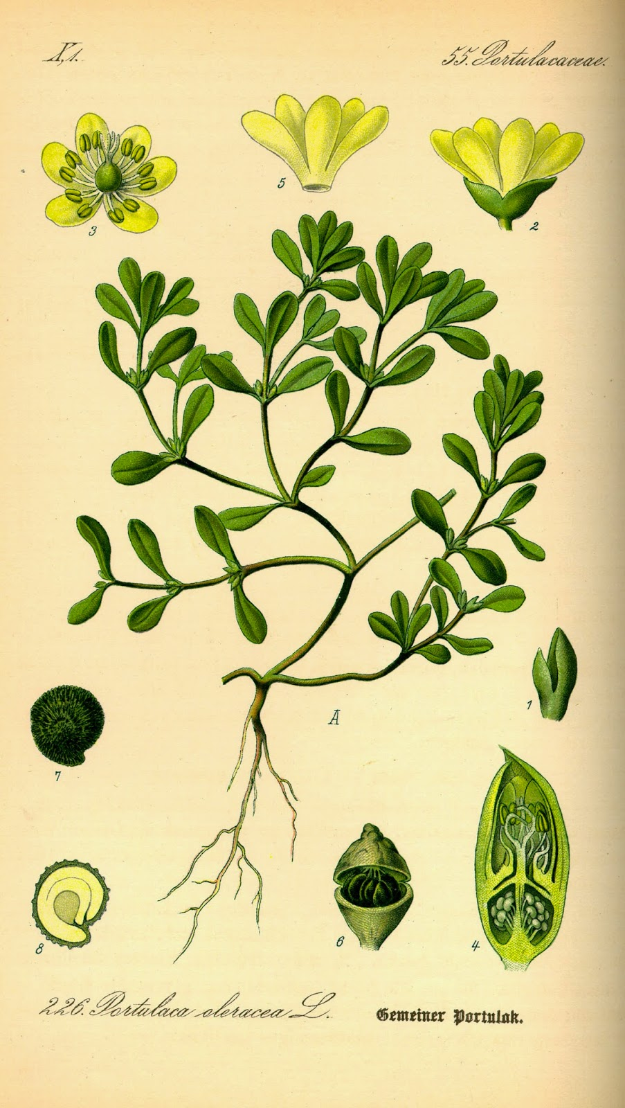PORTULAKA POSPOLITA Portulaca oleracea
