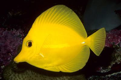 Peces y plantas ornamentales zebrasoma flavescens pez for Reproduccion de peces ornamentales
