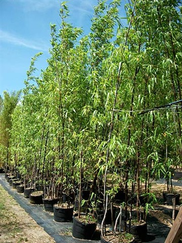 Bamboo Nurseries1