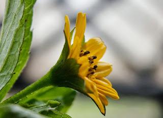 bunga matahari pontianak
