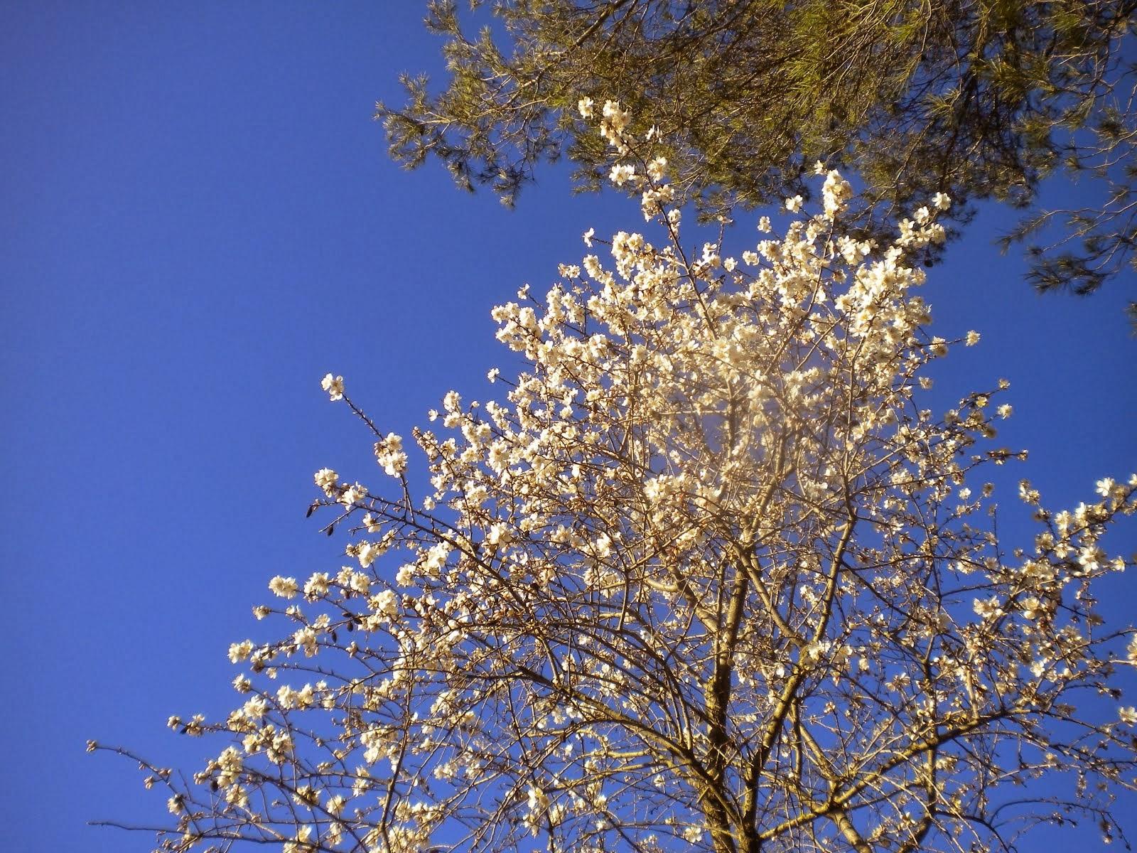 Ametller florit. Febrer II 2014