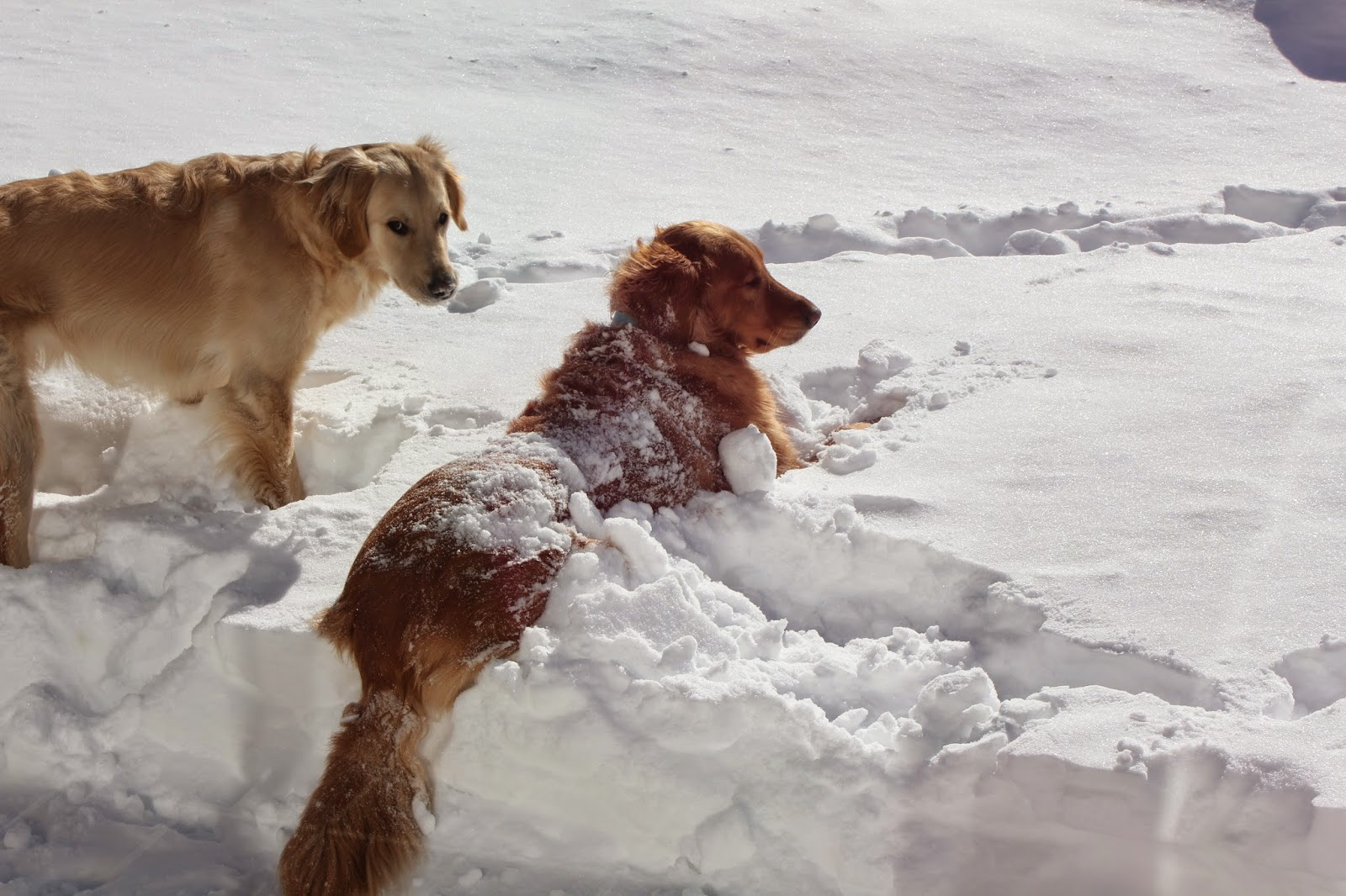 two golden retrievers covered in snow