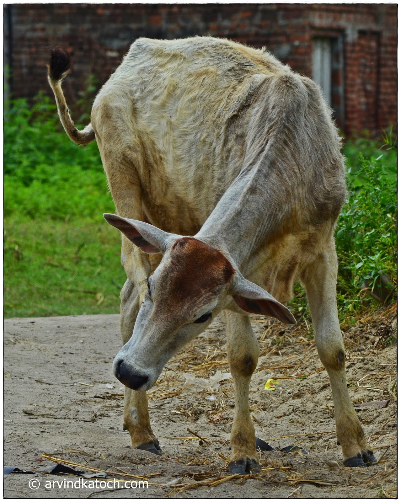 Indigenous cow, road,