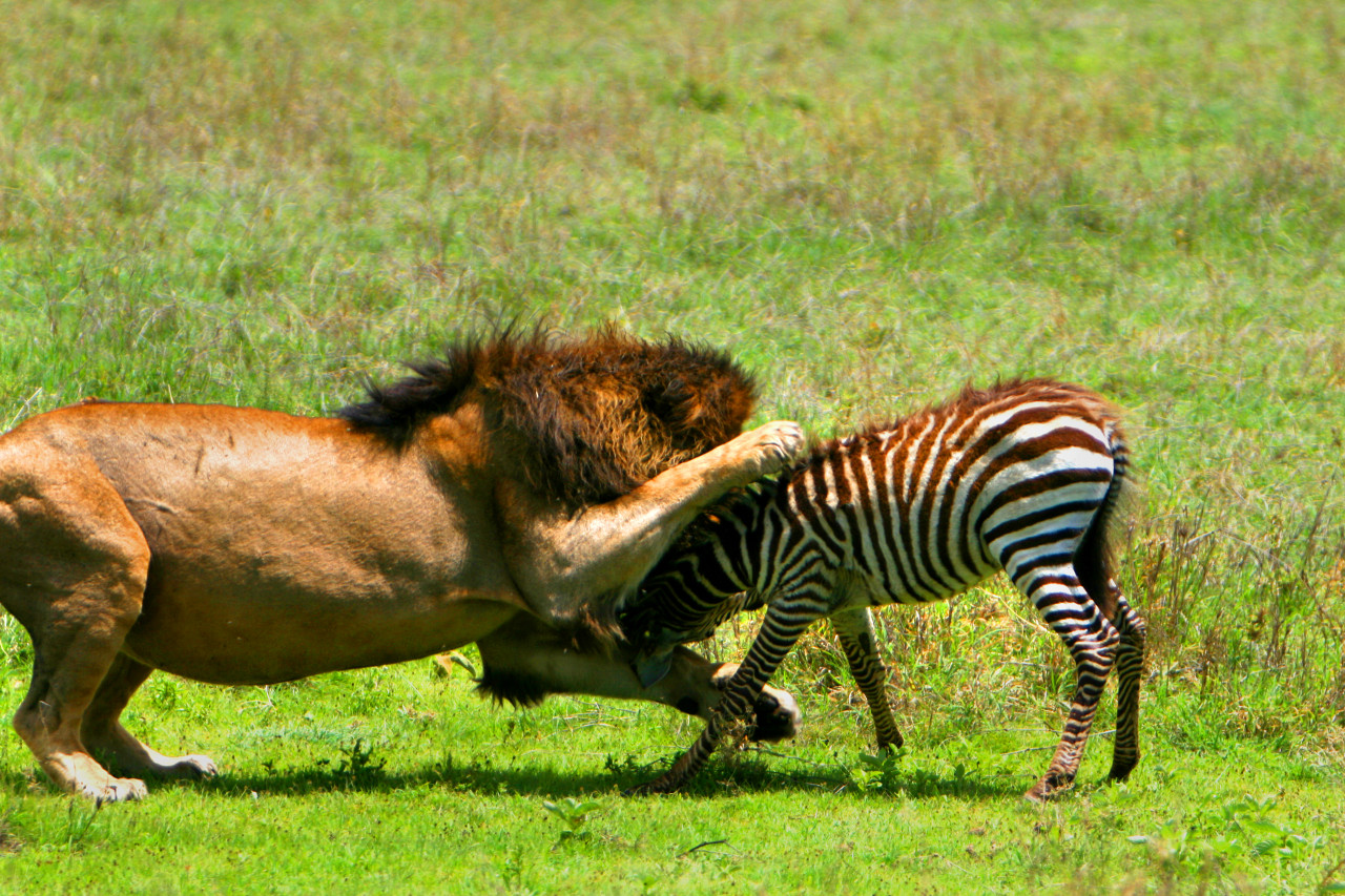 african lion hunting my hd animals