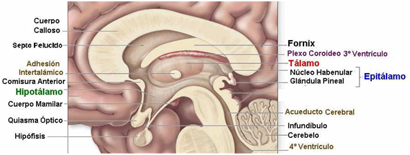 Neurociencias: DIENCÉFALO