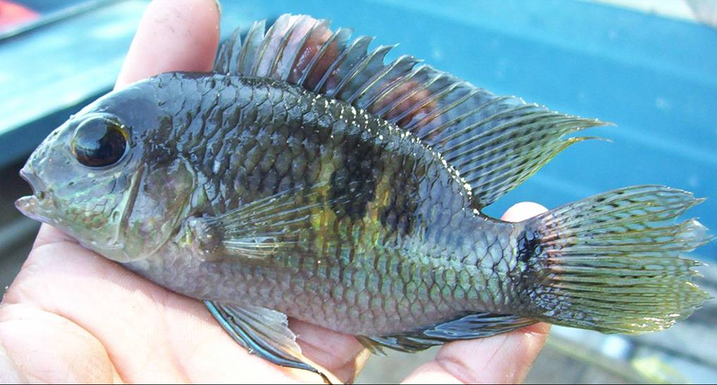 Artes de Pesca: VAMOS A PESCAR TILAPIA 1ª Parte