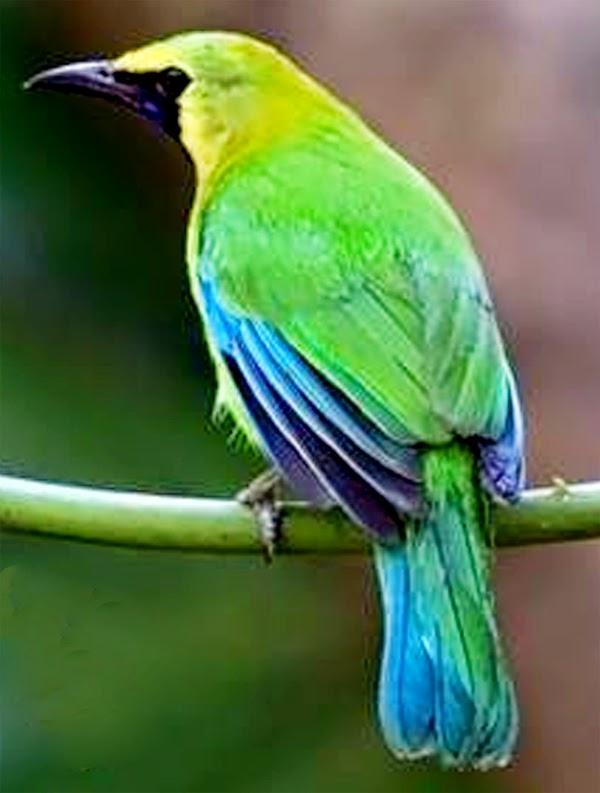 Foto Burung Cucak Rante Terbaik